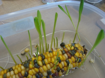sprouting-corn