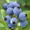 Blueberrry