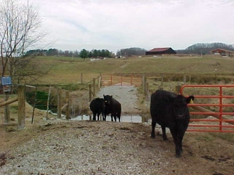 Cattle_Stream_Crossing