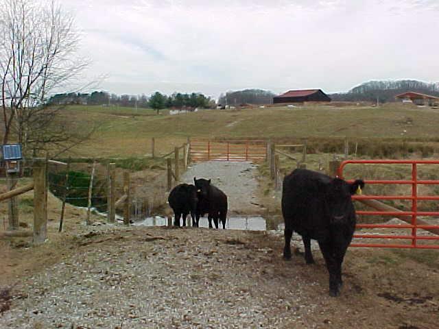 Cattle_Stream_Crossing