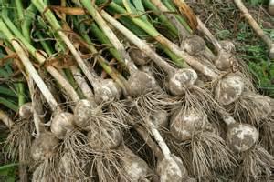 garlic in field