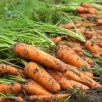 carrots -dirt