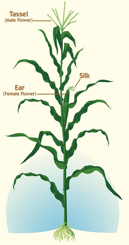 corn plant diagram