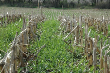 sloans-cover-crop-in-corn-stubble