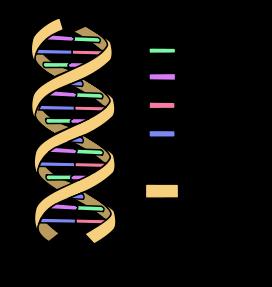 DNA_simple2.svg