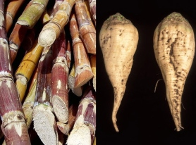 sugar-cane-and-sugar-beet1