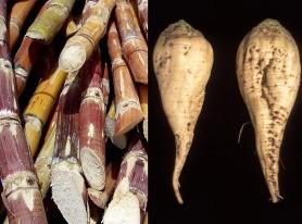 sugar-cane-and-sugar-beet1