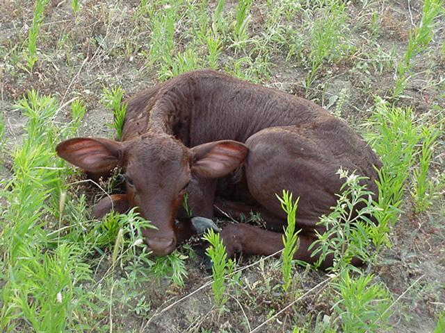 beef_cow18.jpg