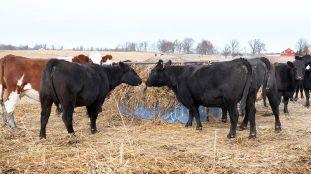 Cows- hay