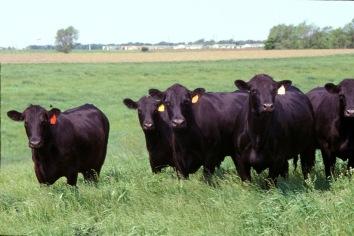 beef_cow25.jpg