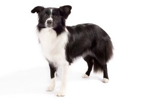 Border-Collie-On-White-01