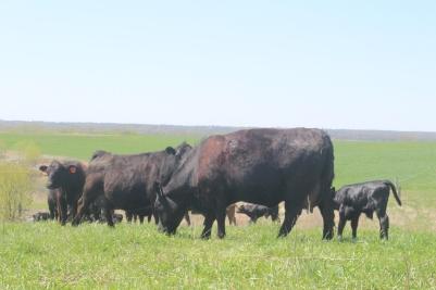 cow eating grass 2.JPG