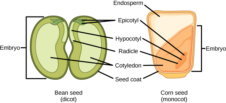 structure and fuction of dicot and monocot seeds - lumenlearning.com