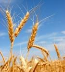 Wheat Portrait