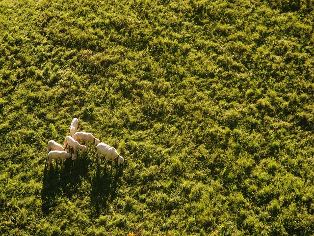 sheep-939566_640 drone small