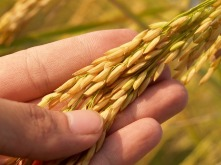 agriculture-1552390_640 (1)- rice