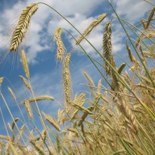 cereals-228726_640 (1) - wheat