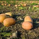 Commercial Processing Pumpkins - Illinois Farm Bureau file photo