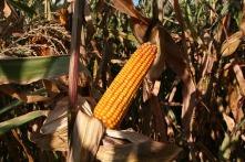 cornfield-1285244_640 (1)