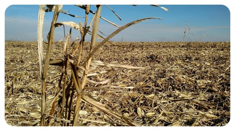 stand of volunteer corn