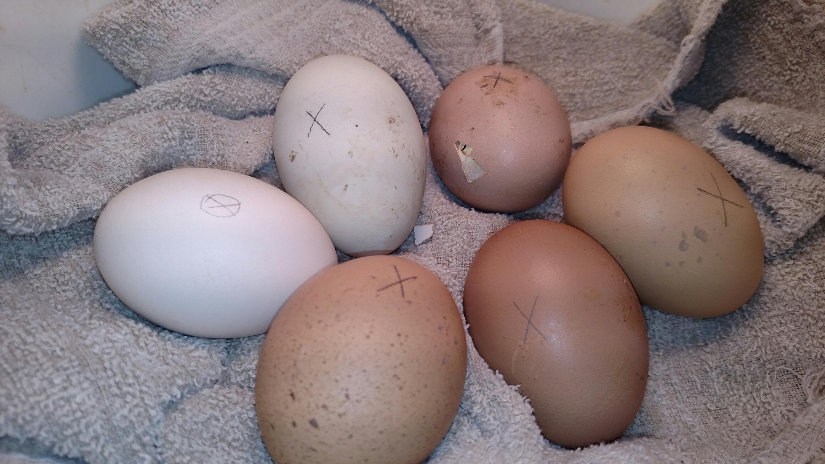 egss hatching
