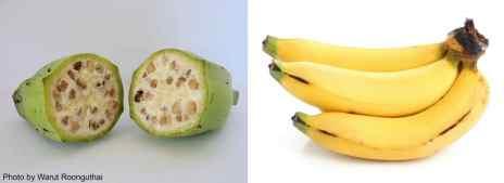 wild-banana-and-cavendish.jpg
