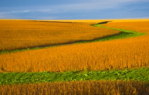 Soybean field lit almost orange during sunset, with background of blue sky and some clouds