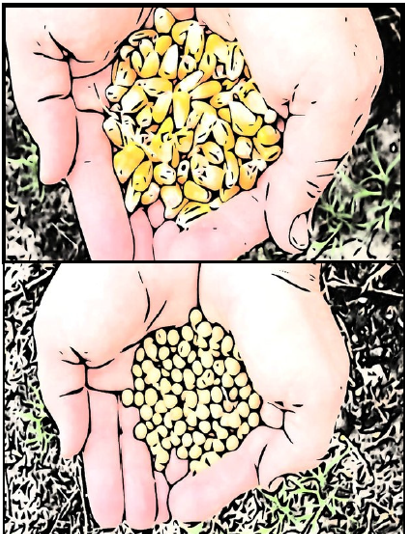 corn and beans in hands