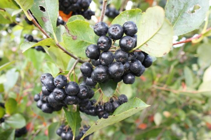 Sawmill Hollow aronia berry