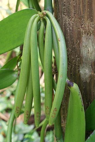 321px-Vanilla_planifolia_cluster_of_green_pods (1)
